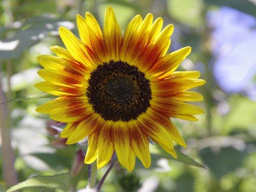 Genesis Pharms Sunflower